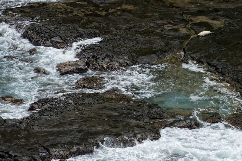 放松在岩石的封印在夏威夷考艾岛 免版税图库摄影
