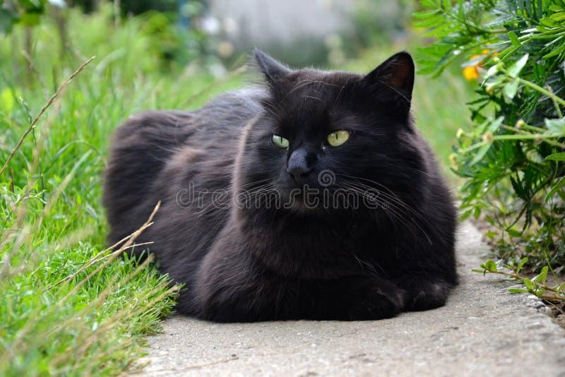 放松在庭院里的厚实的长的头发黑色尚蒂伊蒂凡尼猫画象  肥胖雄猫特写镜头与惊人的大嫉妒的 免版税库存照片