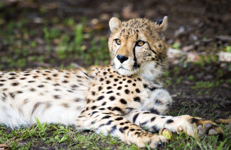 放松在树荫下的猎豹 免版税库存图片