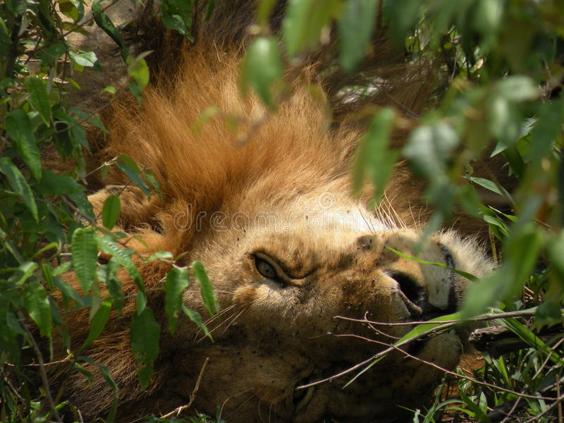 放松在灌木的狮子 图库摄影