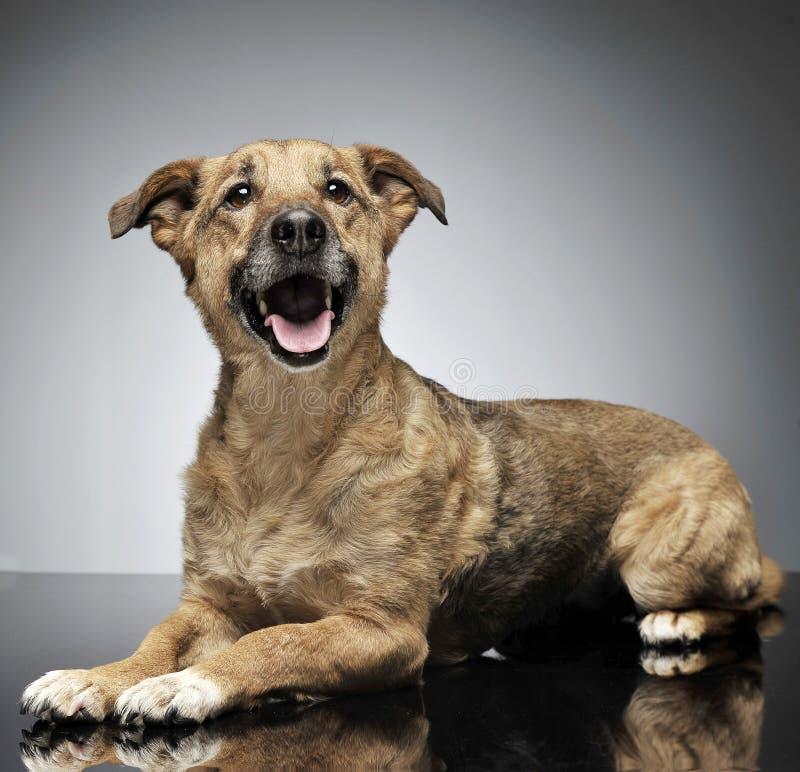 放松在灰色背景中的好的架线的头发褐色狗 库存图片
