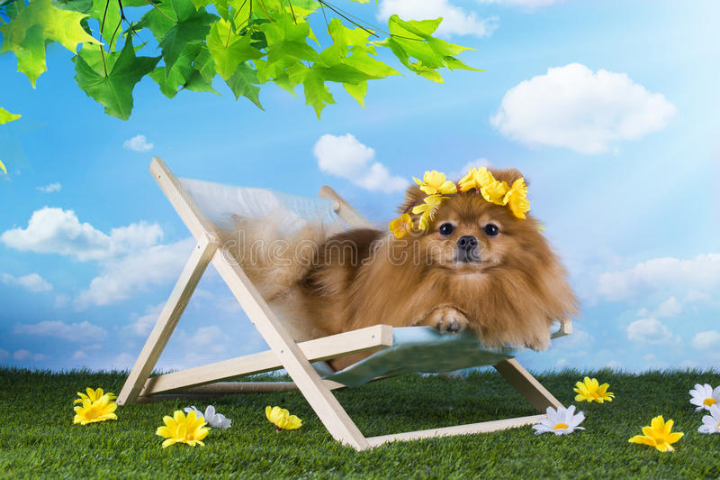 放松在草坪的一张轻便折叠躺椅的蓬松Pomeranian 免版税库存照片