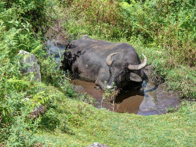 放松在水坑的母牛 图库摄影