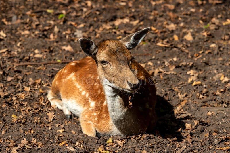 放松女性成人小鹿黄鹿黄鹿画象在森林里 免版税库存图片