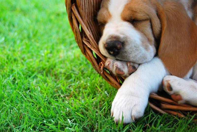 放松小猎犬的小狗 库存照片