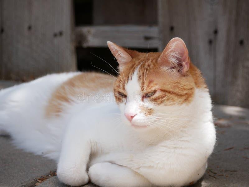 放松橙色和白色的猫户外 免版税图库摄影
