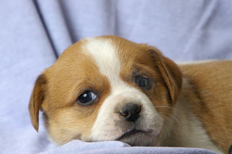 放松的小狗 免版税图库摄影
