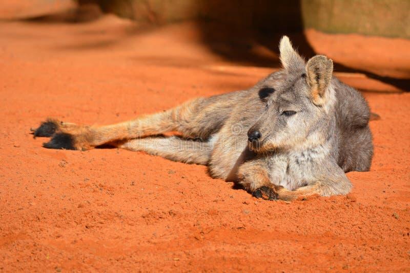 放松的袋鼠在阳光下 免版税库存图片