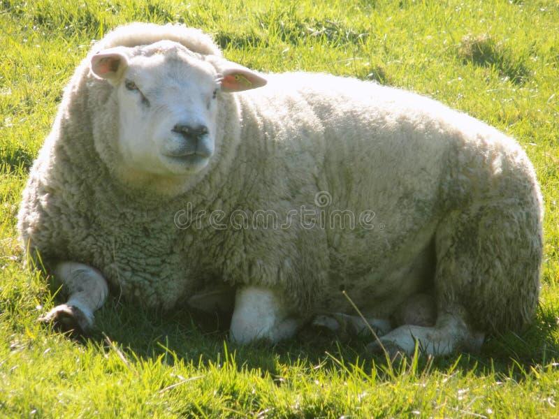 放松的绵羊,诺森伯兰角英国 库存图片