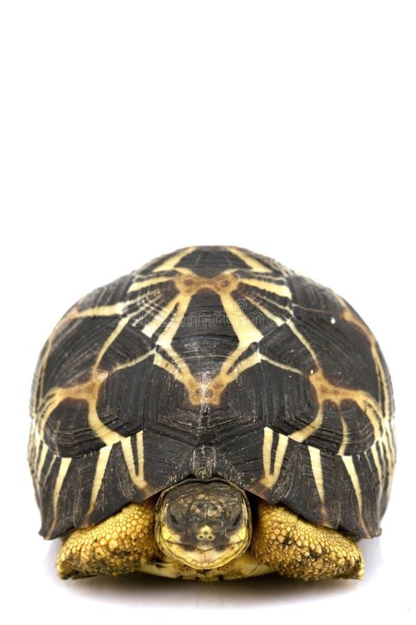 放热的草龟 免版税库存图片