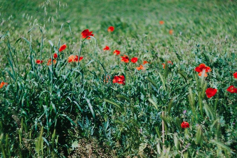 放牧花 库存图片