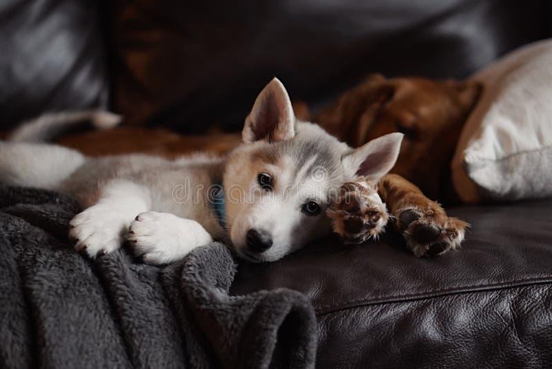 放置与一只成人金毛猎犬的家养的逗人喜爱的捷克斯拉夫的多壳的小狗在长沙发 库存照片