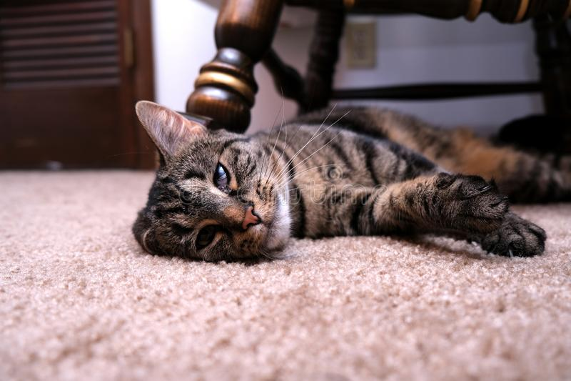 放置与弯的耳朵的猫 库存照片