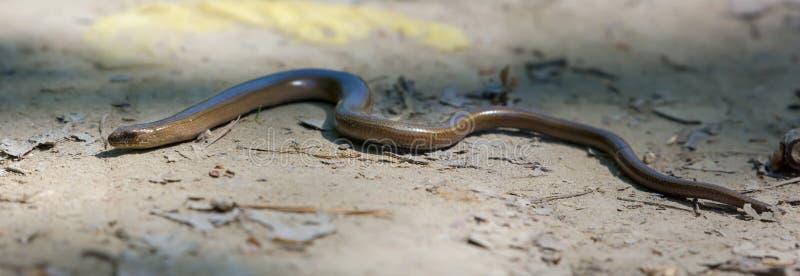 放置和爬行在充分的体长的森林沙粒的慢蠕虫 库存照片