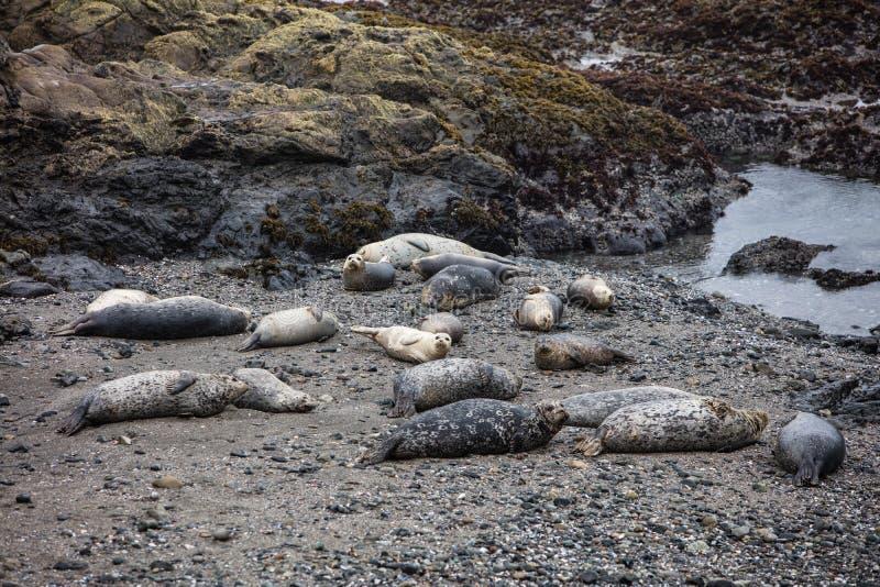 放置在北加利福尼亚海滩的斑海豹 免版税图库摄影