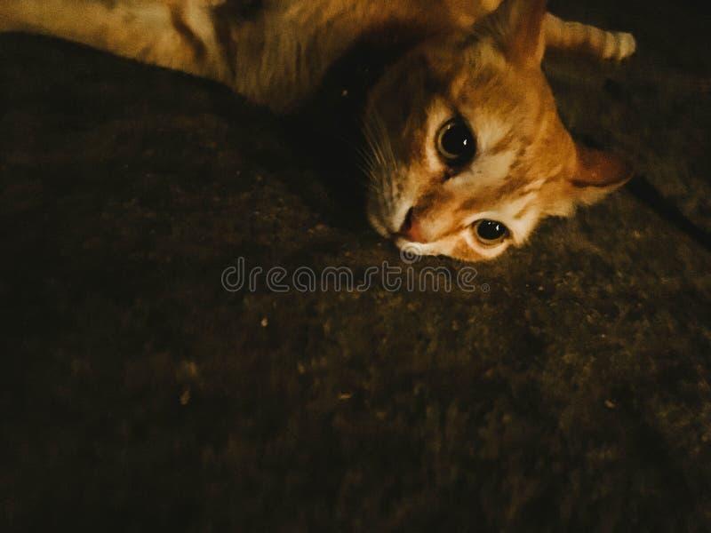 放置在地板的一只逗人喜爱的家养的姜猫 免版税图库摄影