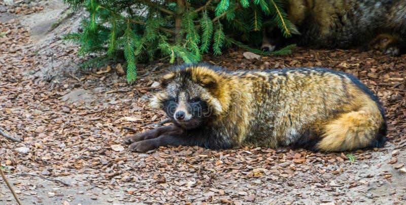 放置在地面上和看往照相机,动物硬币的特写镜头画象的狸从欧亚大陆的 库存图片