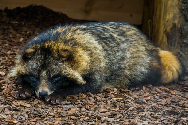 放置在地面上和观看在照相机,从欧亚大陆的动物的狸的可爱的特写镜头画象 库存照片