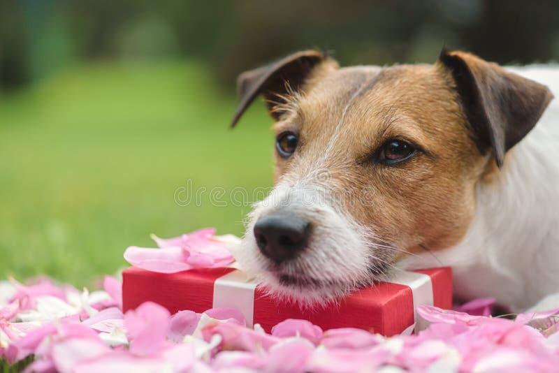 放置在情人节当前箱子的浪漫哀伤和坦率的狗 图库摄影