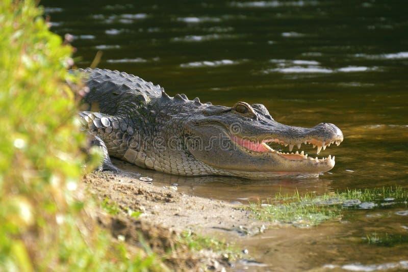 放置在有开放它的嘴的一个池塘附近的鳄鱼 库存图片