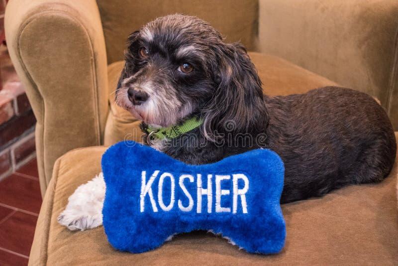 放置在有说洁净在白色信件的一根蓝色和白色玩具骨头的一个长沙发的犹太黑白Havanese小狗 免版税库存图片