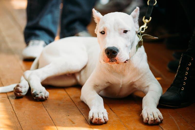 放置在木地板的幼小白色多戈Argentino狗 免版税库存照片