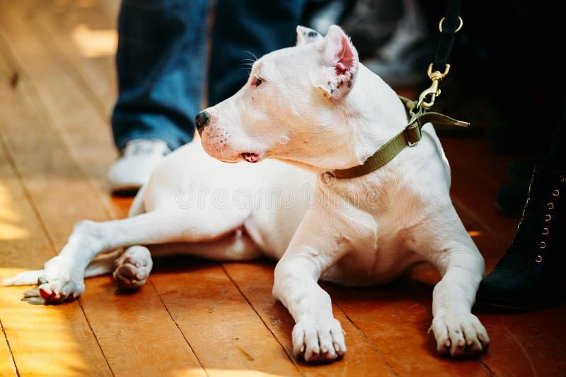 放置在木的幼小白色多戈Argentino狗 库存图片