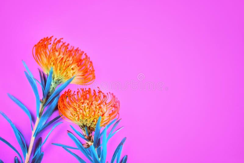 放置在桃红色背景的两朵橙色热带花 免版税库存照片