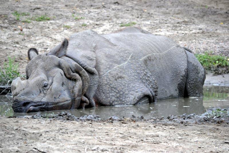 放置在泥的犀牛 免版税库存图片