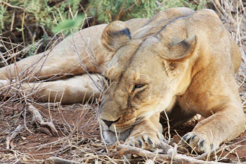 放置在爪子的地面休息的头的雌狮 免版税库存照片