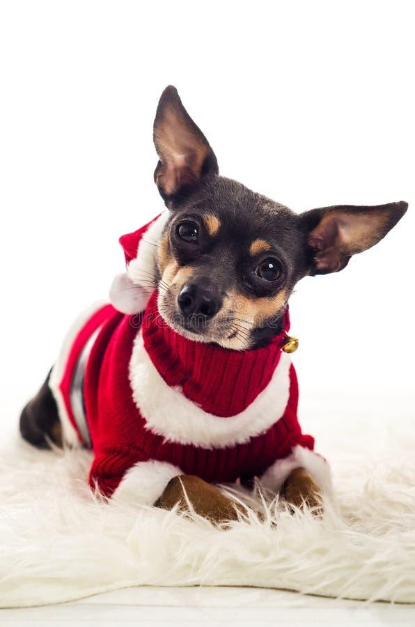 放置在白色地毯的可爱的圣诞老人狗 免版税库存照片