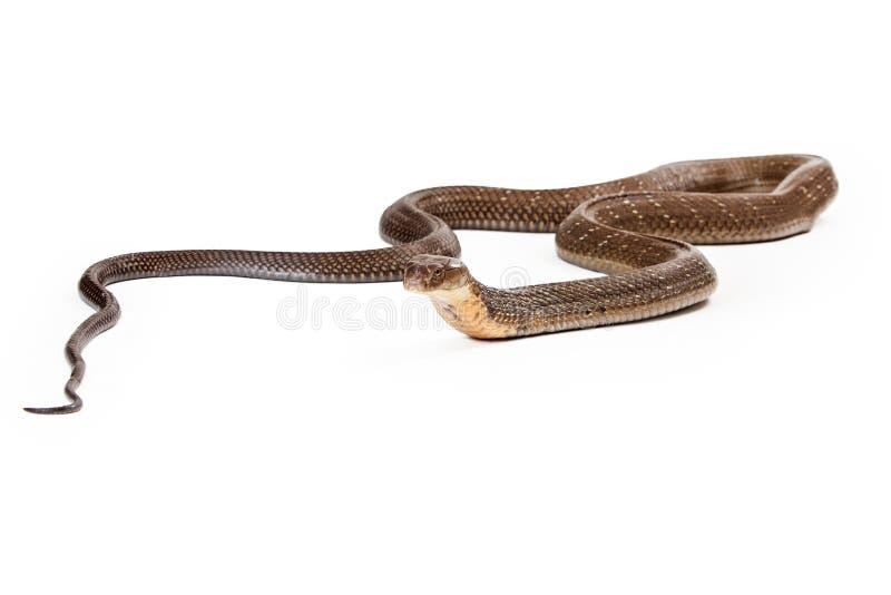 放置在白色的眼镜王蛇蛇 图库摄影