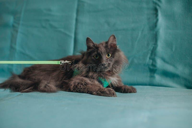 放置在绿松石沙发的Fluffu灰色杂种猫 免版税库存照片