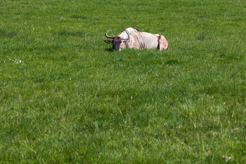 放置在草的一匹有斑角马 免版税库存照片