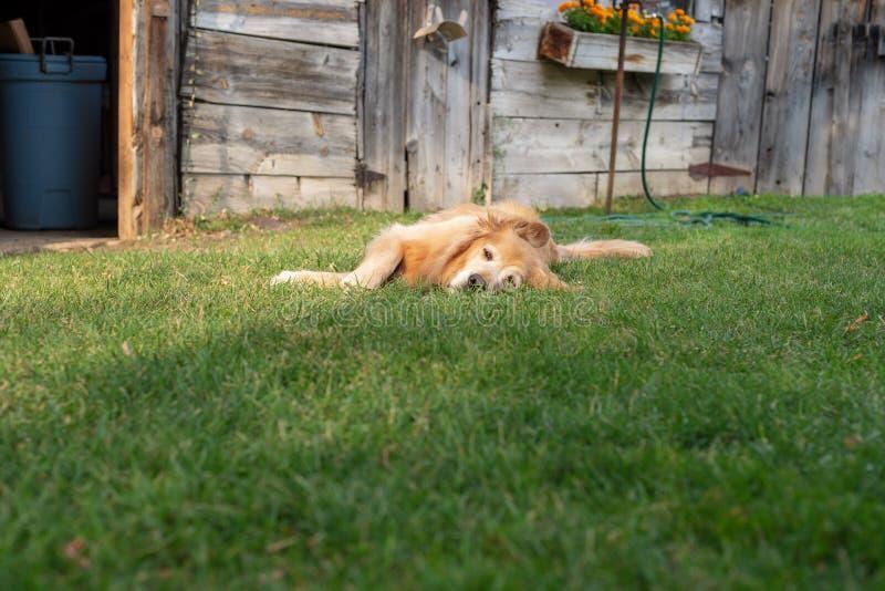 放置在草的愉快的金毛猎犬在夏天 库存图片