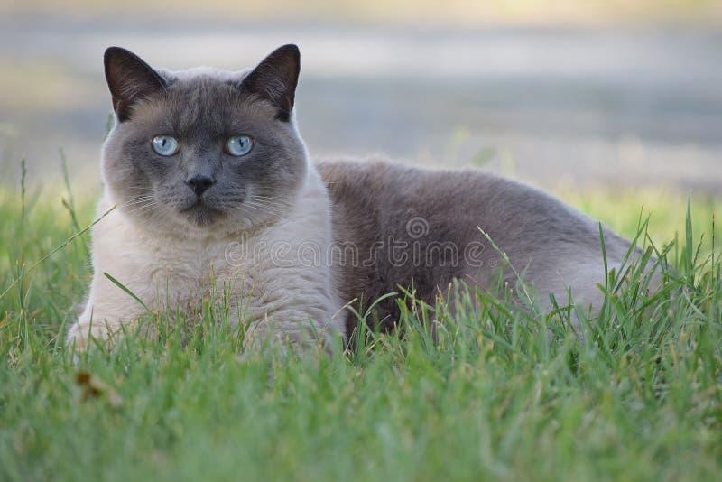 放置在草的暹罗猫 库存图片