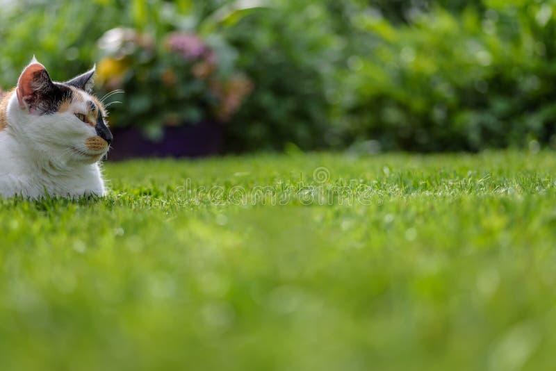 放置在草的杂色猫外面在晴天 免版税库存图片