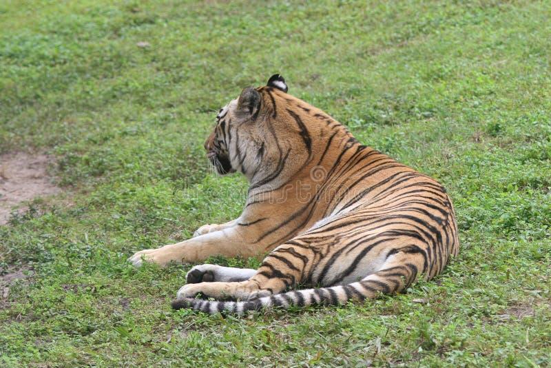 放置在草的老虎在非洲 免版税库存图片