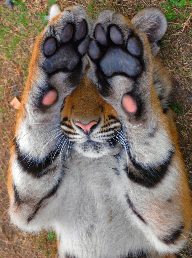 放置在草的虎犊。 免版税库存照片