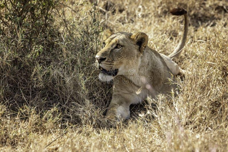 放置在草的雌狮在戒备 免版税库存图片