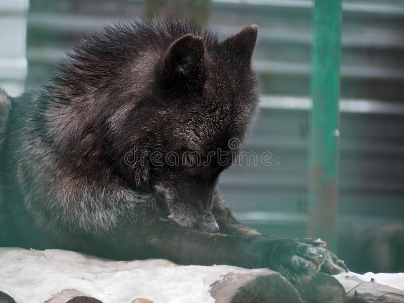 放置在雪的黑狼 库存图片