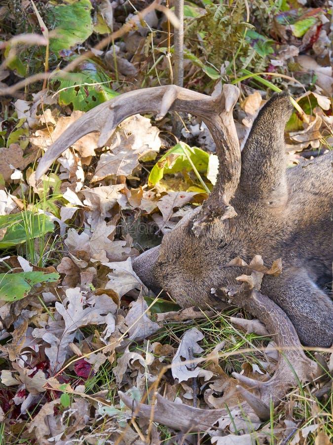 白尾鹿 库存照片