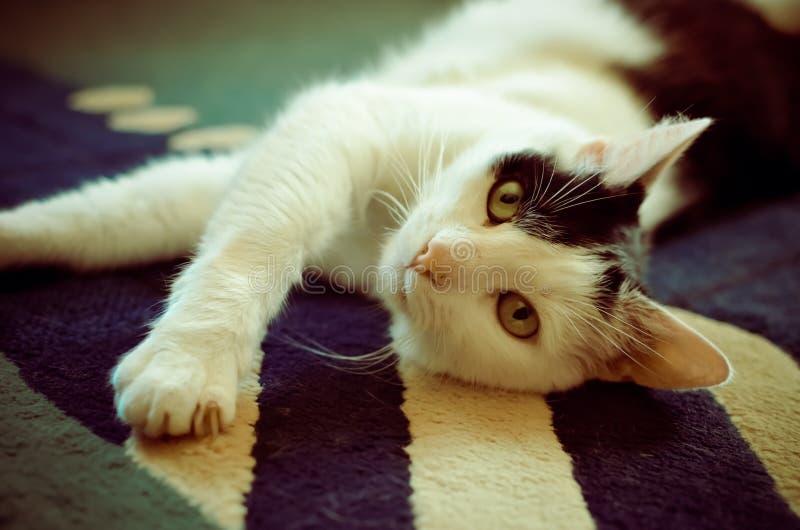 放置在他的在地毯的后面的黑白猫 库存图片