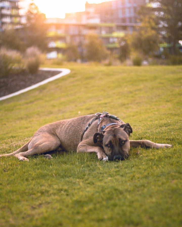 放置狗 免版税图库摄影
