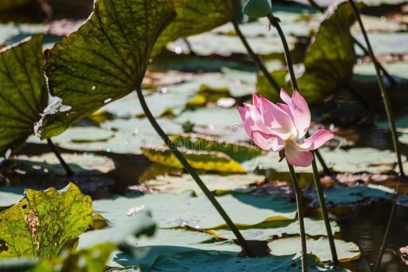 绽放莲花和叶子在荷花池 库存图片