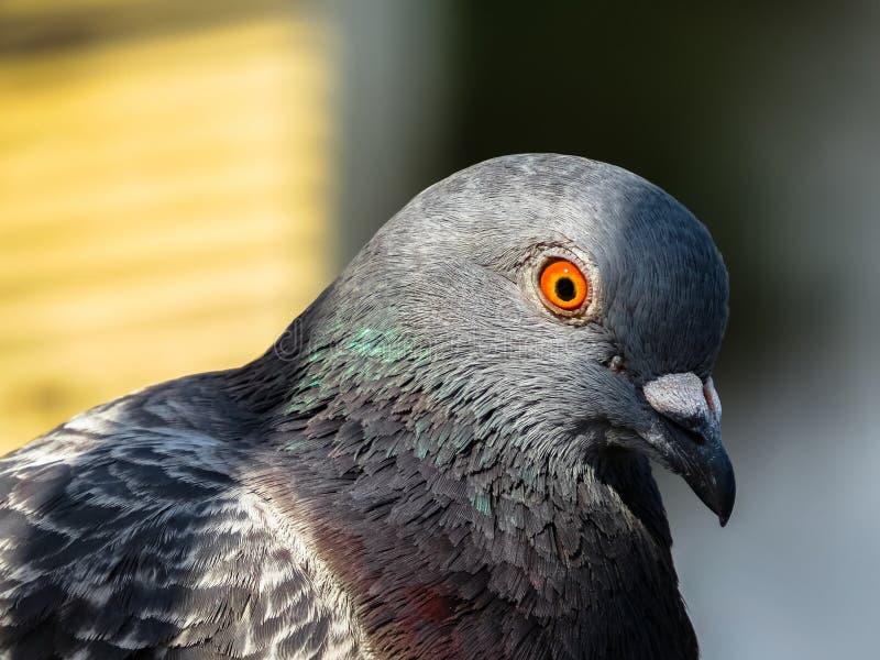 敏锐的关注鸽子 免版税库存照片