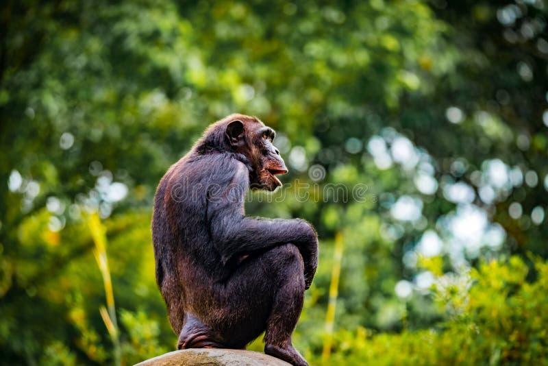 敏锐的观察员黑猩猩 库存图片