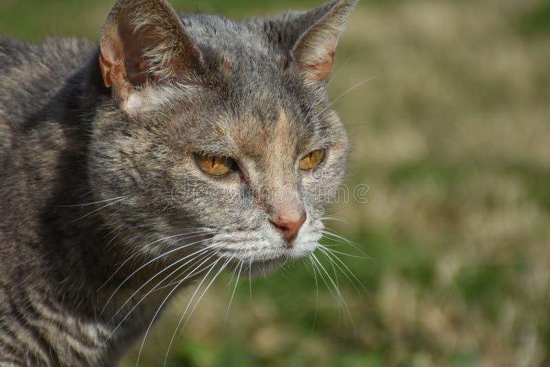 敏锐黄色被注视的虎斑猫 库存图片