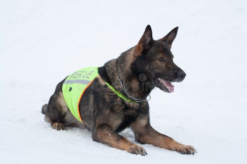 救援队服务的德国牧羊犬 免版税库存图片