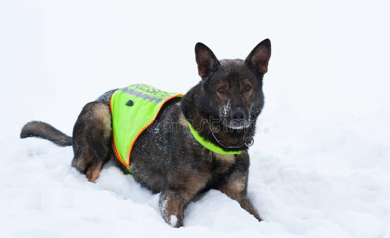 救援队服务的德国牧羊犬 免版税图库摄影